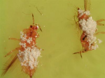 Western Flower Thrips infected with entomopathogenic fungi, Beauveria bassiana BNL 103