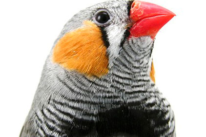 Darwin finch: Galapagos species