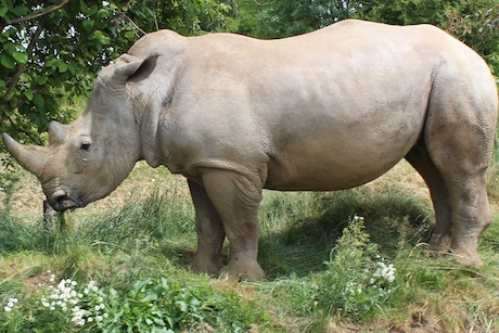 Chessington's Zufari: the ride offers the chance to see rhinos and giraffes