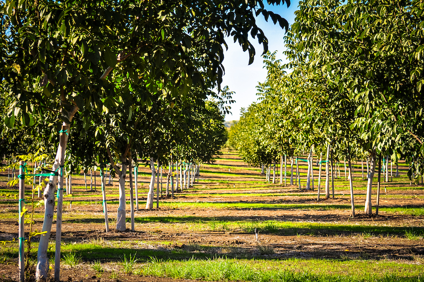 A walnut grove in Chico, California. (Photo credit: Getty Images)