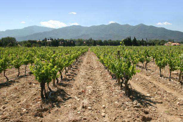 Pays d'Oc vineyard: Languedoc Roussillon