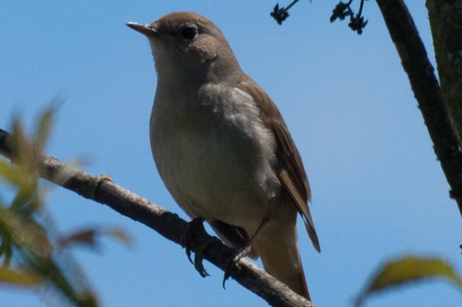 Nightingales: Medway site is important habitat